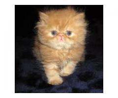 Ofrecemos Hermosos Gatos Persa