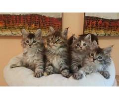 Hermosos Gatos Maine Coon Garantízados