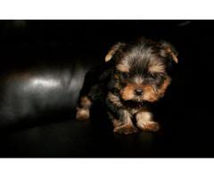 Cachorros Lindos Yorkie Miniatura