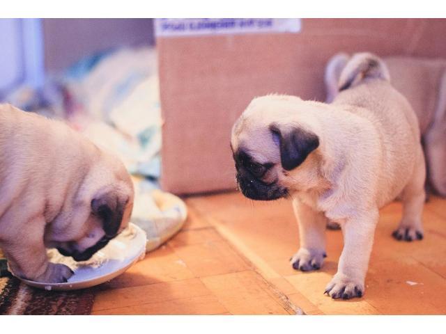 Mini cachorros pequeños Pug Reg!