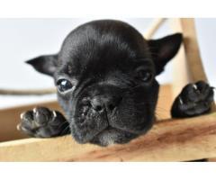 Venta de Cachorros Bulldog Frances, Criadero El Arca Del Frances